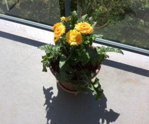 Gerberas jaune et orange